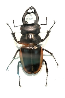Beetle with shell with brown edges