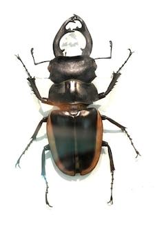 갈색 가장자리를 가진 포탄을 가진 딱정벌레