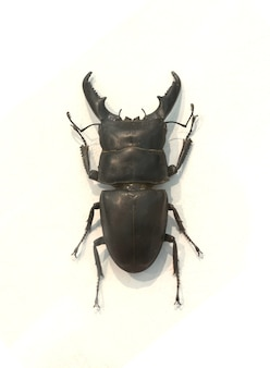 Beetle with thick horns