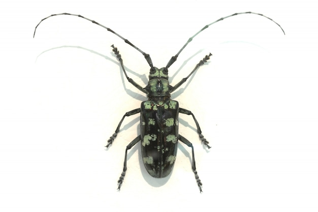 Beetle with very long antennae