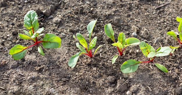 비트 뿌리 잎. 성장하는 비트 뿌리(beta vulgaris).