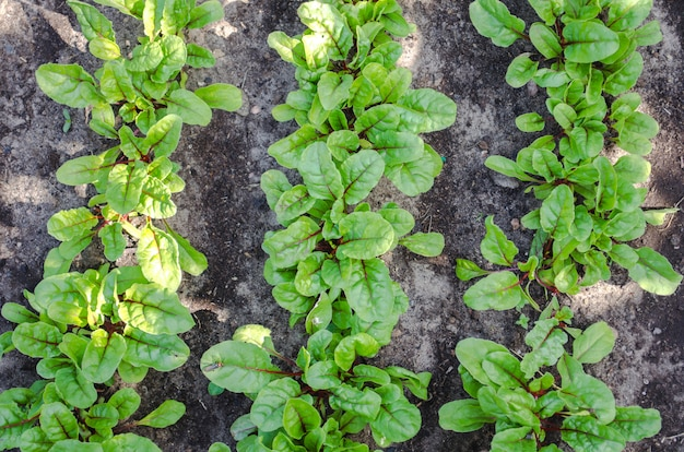 Beetroot with herbage green leaves in the garden
