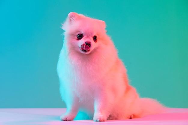 Попрошайничество. портрет забавного активного питомца, симпатичного шпица собаки, позирующего изолированным над стеной студии в неоне.