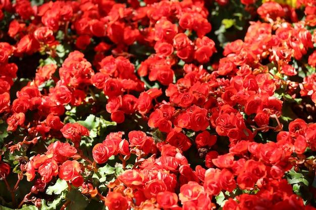 フラワーガーデン、カラフルな冬の花の鉱山にベゴニアの花が咲いています。
