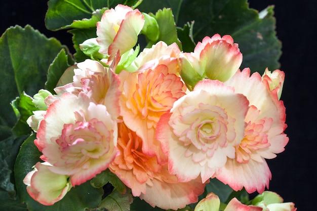 베고니아는 화려한 꽃 관상용 식물입니다.