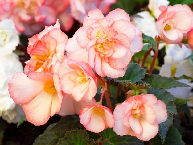 베고니아는 화단에있는 섬세한 분홍색 꽃입니다. 화초 재배의 개념.