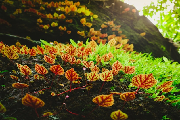 Begonia leaves or begoniaceae in the rainforest.