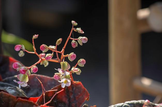 정원에서 피는 베고니아 또는 핑크 꽃