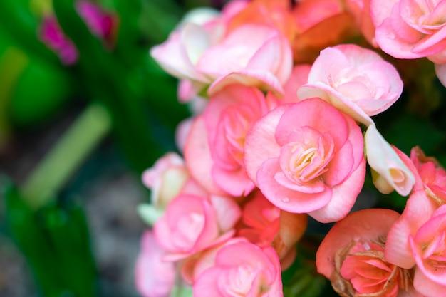 庭の塊茎ベゴニア(begonia tuberhybrida)の多数の鮮やかな花。