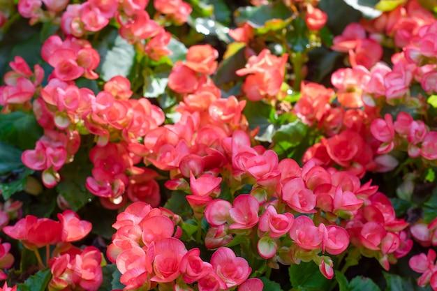 庭の塊茎ベゴニア(begonia tuberhybrida)の多数の鮮やかな花