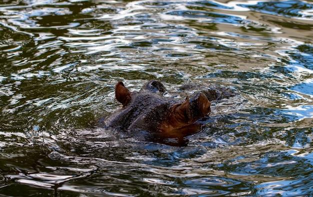 덥고 화창한 여름날 베히모스는 강물에서 완전히 목욕했습니다. 코와 눈 하마가 물에서 나왔습니다.