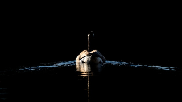 夜に湖で泳いでいるアヒルの後ろのショット