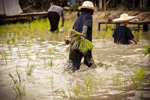 진흙 투성이의 아시아 어린이 뒤에는 태국의 어린이와 농업 농부를 위해 쌀이 야외 활동을 어떻게 재배하는지 배우기 위해 들판에서 쌀을 심는 것을 즐깁니다.