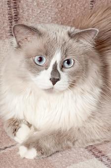 Beige cat lying in the sofa