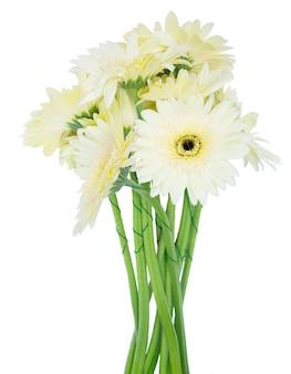 白い背景で隔離のベージュのガーベラの花の花束