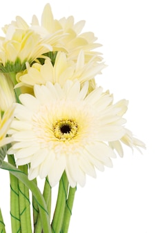 Beige gerbera flowers close up isolated on white background