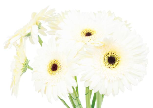 白い背景で隔離のベージュのガーベラの花