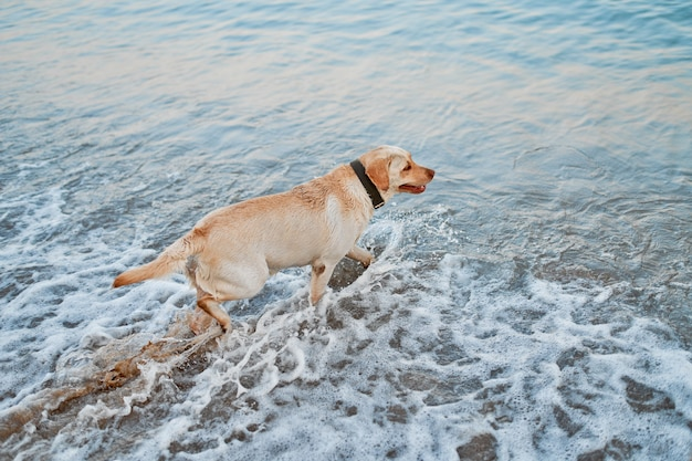A beige labrador with a collar wants to swim in the sea.