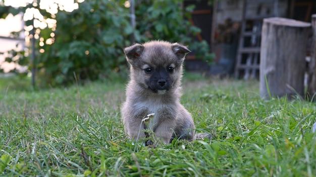 Бежевый щенок гуляет по траве.