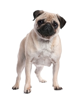 Beige pug with 2 years old posing. dog portrait isolated