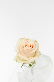 Beige rose with ribbon