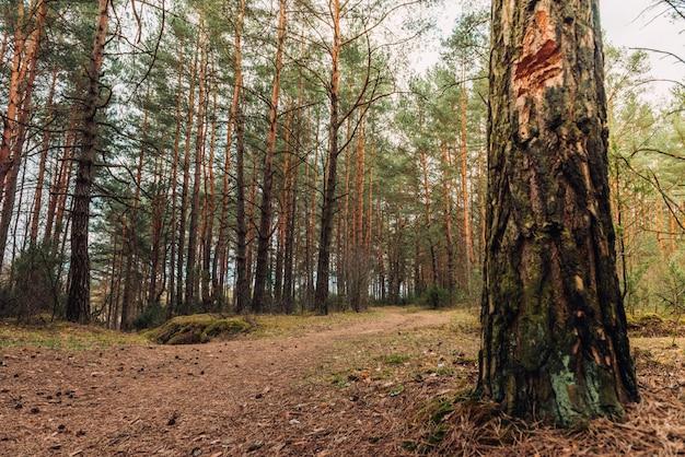 春のベラルーシの森林景観。ベラルーシ共和国。