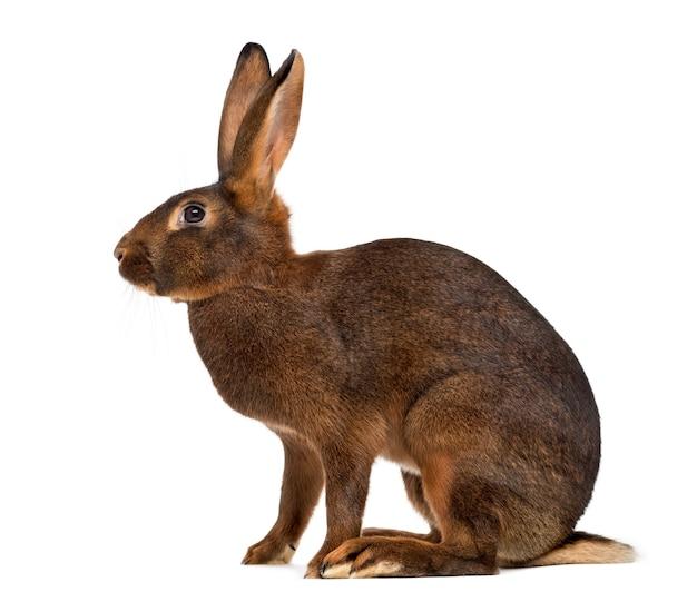 Бельгийский заяц перед белой поверхностью