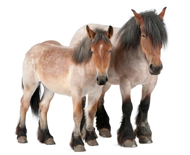 ベルギーの馬、ベルギーの重い馬、brabancon、ドラフト馬の品種、16歳、分離された白の上に立って