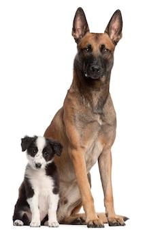 벨기에 셰퍼드 개, 2 세 및 보더 콜리 강아지, 3 개월, 앉아