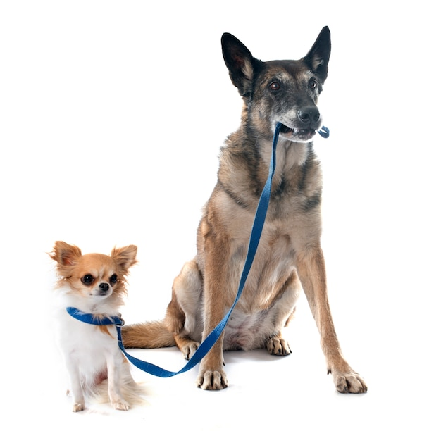 Belgian shepherd dog and chihuahua