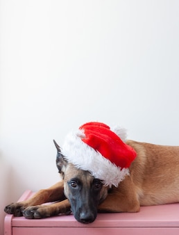 The belgian shepherd malinois is lying on his head with a santa claus hat.