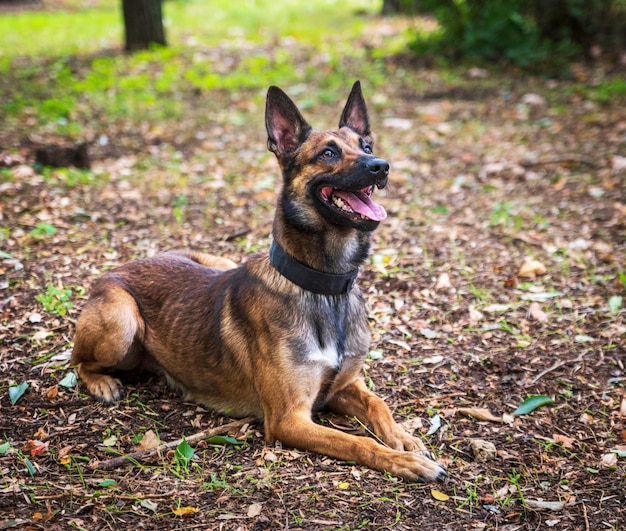 Belgian shepherd malinois lies on the green grass