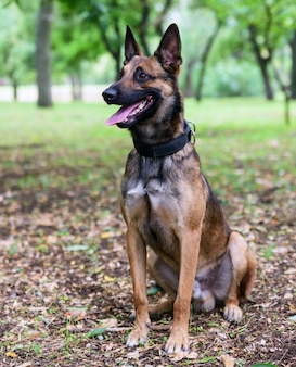 Belgian shepherd malinois  sitting on the green grass