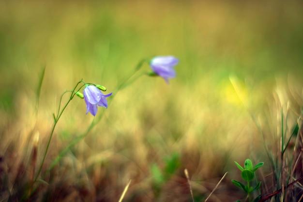 Bell flower on a meadow