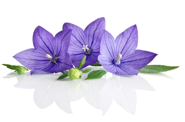Bell flowers isolated on white Premium Photo