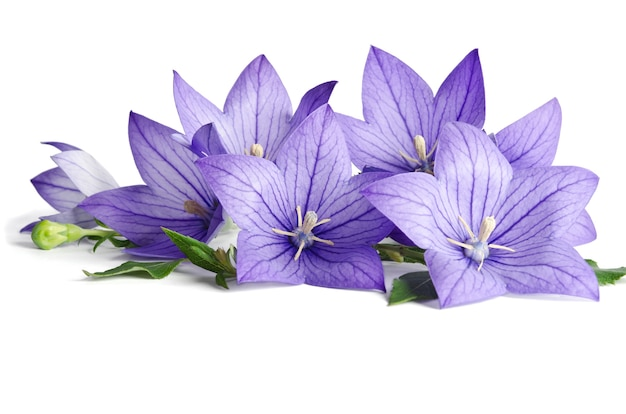 Bell flowers isolated on white