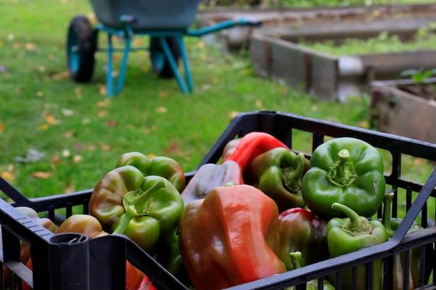 ピーマン、バスケットに入ったパプリカ。農民や庭師のための収穫時期、有機園芸。庭で野菜を収穫する