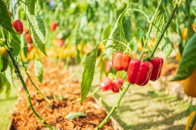 Растение болгарского перца в саду