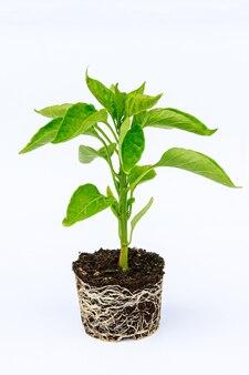 흰색 배경에 잘 발달된 루트 시스템이 있는 피망 묘목. 뿌리와 줄기, 고추 묘목의 잎.