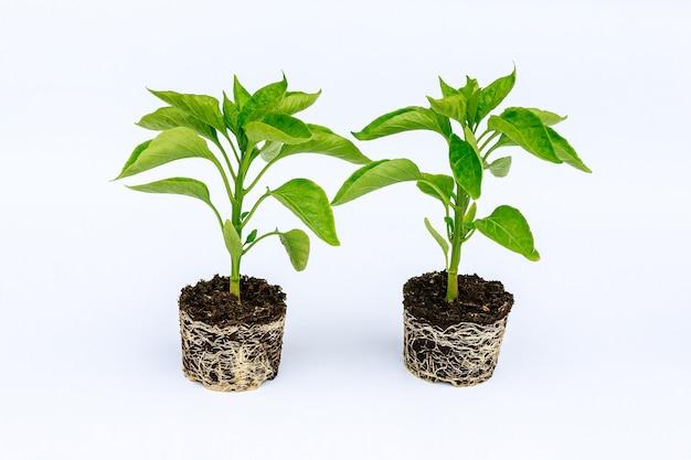 흰색 배경에 잘 발달 된 루트 시스템과 피망 모종. 뿌리와 줄기, 후추 묘목의 잎. 프리미엄 사진