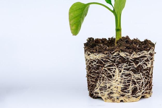 흰색 배경에 잘 발달 된 루트 시스템과 피망 모종. 뿌리와 줄기, 후추 묘목의 잎.