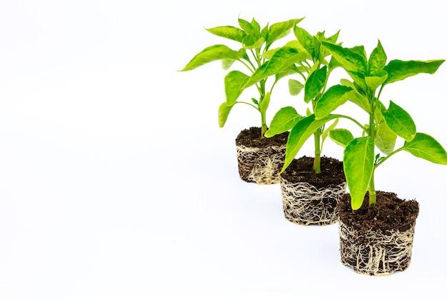 뿌리 계통이 잘 발달 된 피망 모종. 뿌리와 줄기, 후추 묘목의 잎.
