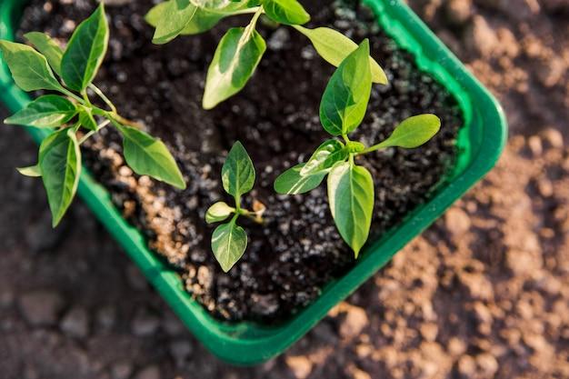Саженцы болгарского перца. садоводство. зеленые листья растений в лотке на graund. вид крупным планом