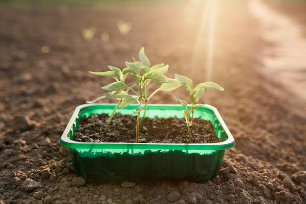 Саженцы болгарского перца. садоводство. зеленые листья растений в лотке на graund в солнечном свете.