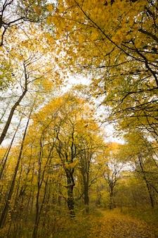若い木々が生い茂る森の黄色い紅葉の下、本物の秋の季節の背の高い木のてっぺん