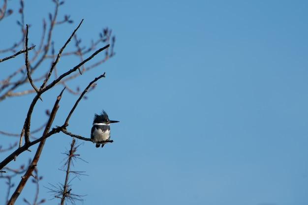 Зимородок с поясом сидит на ветке дерева