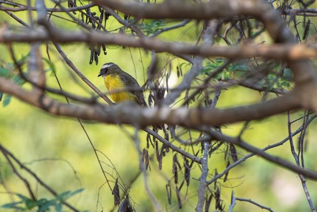 Бем-те-ви, красивая птица, которую в бразилии называют бем-те-ве, среди ветвей дерева. выборочный фокус.