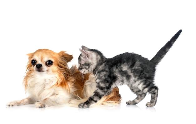 Бенгальская кошка и чихуахуа на белом фоне