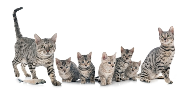 孤立したベンガル猫の家族