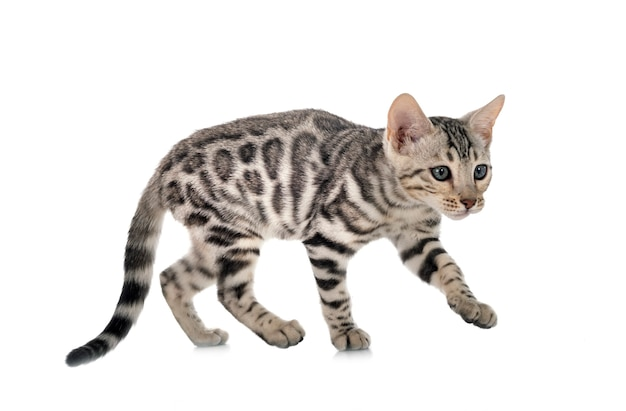 Bengal cat in front of white background